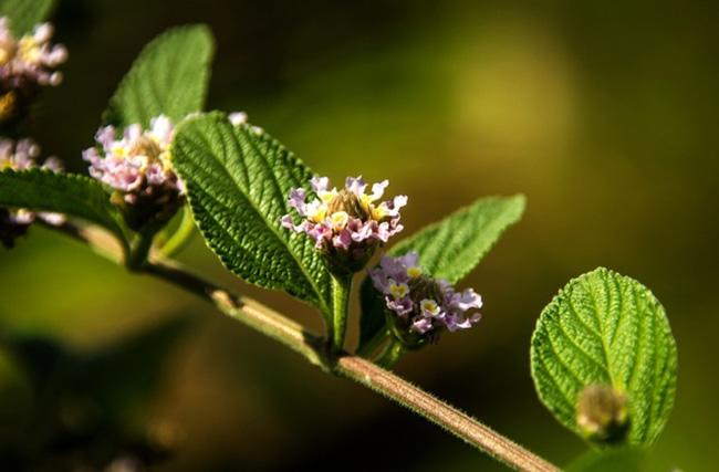 Benefícios do chá de erva-cidreira